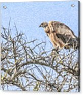 African White-backed Vulture Acrylic Print