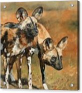 African Wild Dogs Acrylic Print