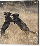 African Wild Dogs Playing Lycaon Pictus Acrylic Print