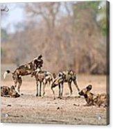 African Wild Dogs Acrylic Print