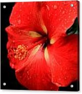 Georgia Red Hibiscus After A Rain Greensboro Georgia Art Acrylic Print