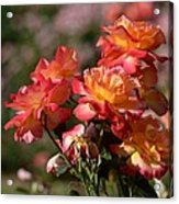 Afternoon Roses Acrylic Print