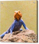 Agama Lizard On Rock Acrylic Print