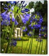 Agapanthus In The Garden Acrylic Print