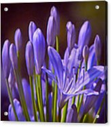 Agapanthus - Lily Of The Nile - African Lily Acrylic Print