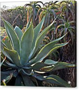 Agave At Sunset Acrylic Print