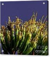Agave Bloom Acrylic Print