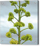 Agave Flower Spike Acrylic Print