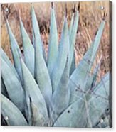 Agave Plant In The Chisos Mountains Acrylic Print