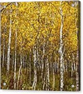 Age Pitted Aspens Acrylic Print