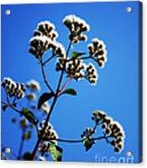 Ageratina Adenophora  Acrylic Print