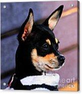 Agie - Chihuahua Pitbull Acrylic Print