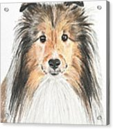 Agility Dog Sheltie In Pastel Acrylic Print