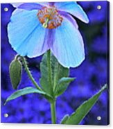 Aglow In Blue Tall View Acrylic Print