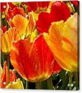Agressive Tulips Acrylic Print