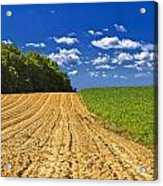 Agricultural Landscape - Young Corn Field Acrylic Print