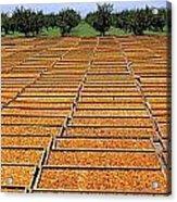Agriculture - Blenheim Apricots Acrylic Print