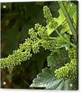 Agriculture - Cluster Of Wine Grape Acrylic Print