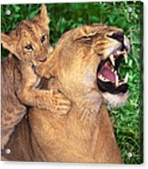 Ah Being A Mother Is Wonderful African Lions Wildlife Rescue Acrylic Print