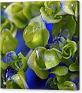 Ahhh Hydrangea Acrylic Print