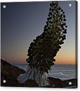 Ahinahina - Silversword - Argyroxiphium Sandwicense - Summit Haleakala Maui Hawaii Acrylic Print