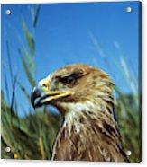 Aigle Imperial Aquila Heliaca Acrylic Print