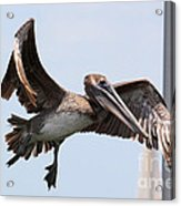 Airborne Brown Pelican Acrylic Print