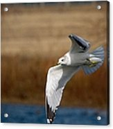 Airborne Seagull Series 1 Acrylic Print
