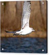 Airborne Seagull Series 2 Acrylic Print
