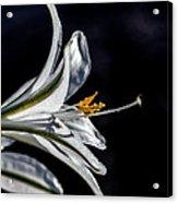 Ajo Lily Close Up Acrylic Print by Robert Bales