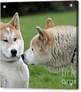 Akita Inu Dogs, Old And Young Acrylic Print