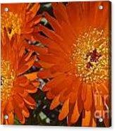 Orange Burst Akuli Kuli Acrylic Print