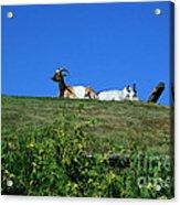 Al Johnsons Resturant Goats Acrylic Print