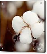 Alabama Cotton Acrylic Print
