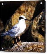 Alabama Tern Acrylic Print