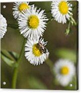 Alabama Wildflower Robin's Plantain - Erigeron Pulchellus Acrylic Print