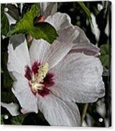 Alabama Wildflower -  Woolly Rose Mallow Acrylic Print