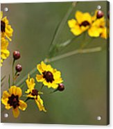 Alabama Wildflowers Coreopsis Tinctoria Tickseed Acrylic Print