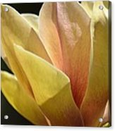 Alabama's Tulip Magnolia Acrylic Print