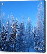 Alaska Sunrise Illuminating Spruce Trees Among Birches Acrylic Print