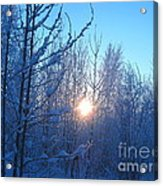 Alaska Sunrise Shining Through Birches And Willows Acrylic Print