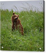 Alaska2010.-brown Beers On The Kenai Acrylic Print