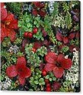 Alaskan Berries 1 Acrylic Print