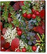 Alaskan Berries 2 Acrylic Print