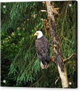 Alaskan Eagle Acrylic Print
