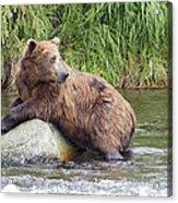 Alaskan Grizzly Acrylic Print