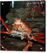Alaskan King Crab 5d24125 Acrylic Print by Wingsdomain Art and Photography