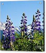 Alaskan Lupin Acrylic Print by Chris Heitstuman