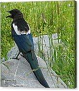 Alaskan Magpie Acrylic Print