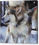 Alaskan Malamute Photo Art 09 Acrylic Print